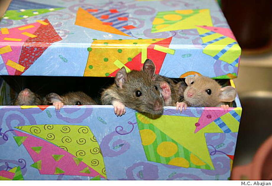 Adopted rats Photo: TK, M.C. Abajian