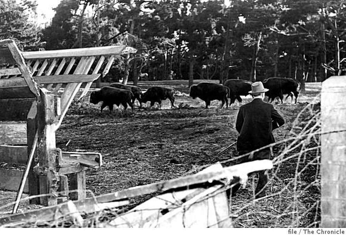A man watches a herd of bison in Golden Gate Park in San Francisco, Calif. on Dec. 3, 1942.
