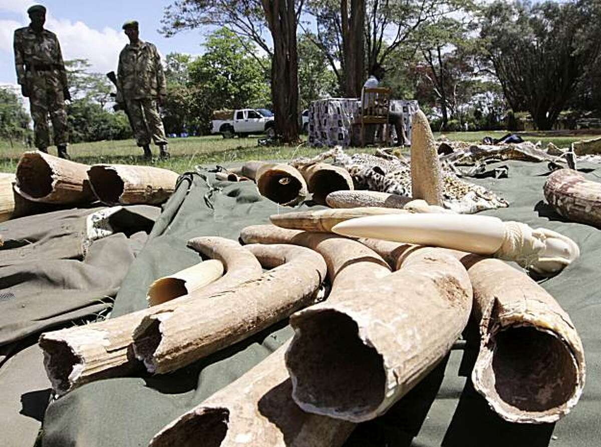 ** ADVANCE FOR SUNDAY, MAY 16 ** FILE - In this Nov. 30, 2009 file photo, Kenyan Wildlife wardens keep a watch on confiscated elephant tusks at the Kenyan wildlife offices in Nairobi, Kenya. Interpol says African wildlife authorities have seized nearly 3,800 pounds (1,700 kilograms) of illegal elephant ivory in a six-nation operation. The Kenya Wildlife Service says it has arrested 65 people during the operation.