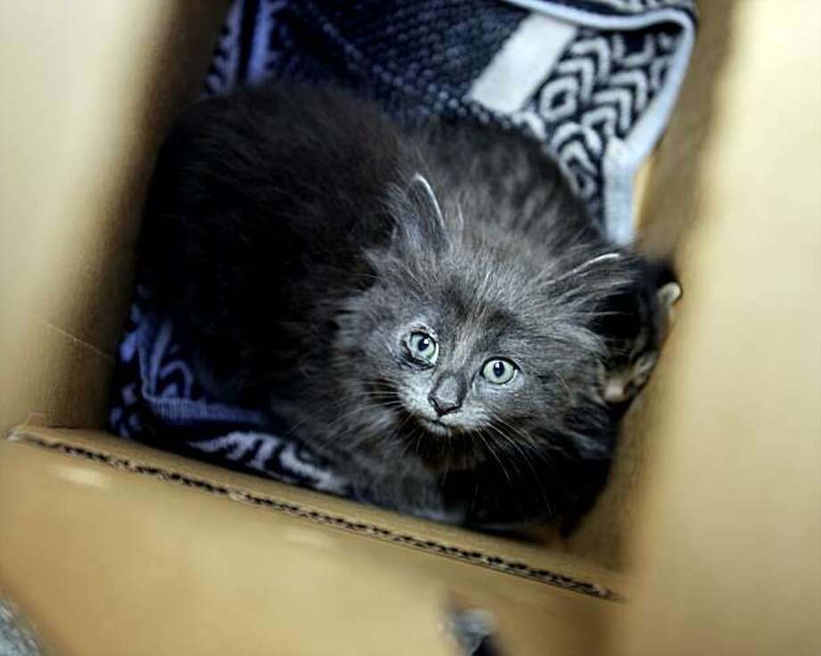 A kitten sits inside a box, after members of the Society for the Prevention of Cruelty to Animals Los Angeles (spcaLA) Humane Officers rescued 30 cats and kittens from an East Los Angeles home on Friday, May 21, 2010, in Los Angeles. The cats will be taken to  the spcaLA South Bay Pet Adoption Center in Hawthorne, Calif. Photo: Damian Dovarganes, AP