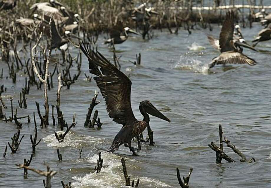 An oil soaked pelican takes flight after Louisiana Fish and Wildlife employees tried to corral him on an island in Barataria Bay just inside the the coast of Louisiana, Sunday, May 23, 2010. The island, which is home to hundreds of brown pelican nests aswell at terns, gulls and roseate spoonbills, is impacted by oil from the Deepwater Horizon Oil Spill. Photo: Gerald Herbert, AP