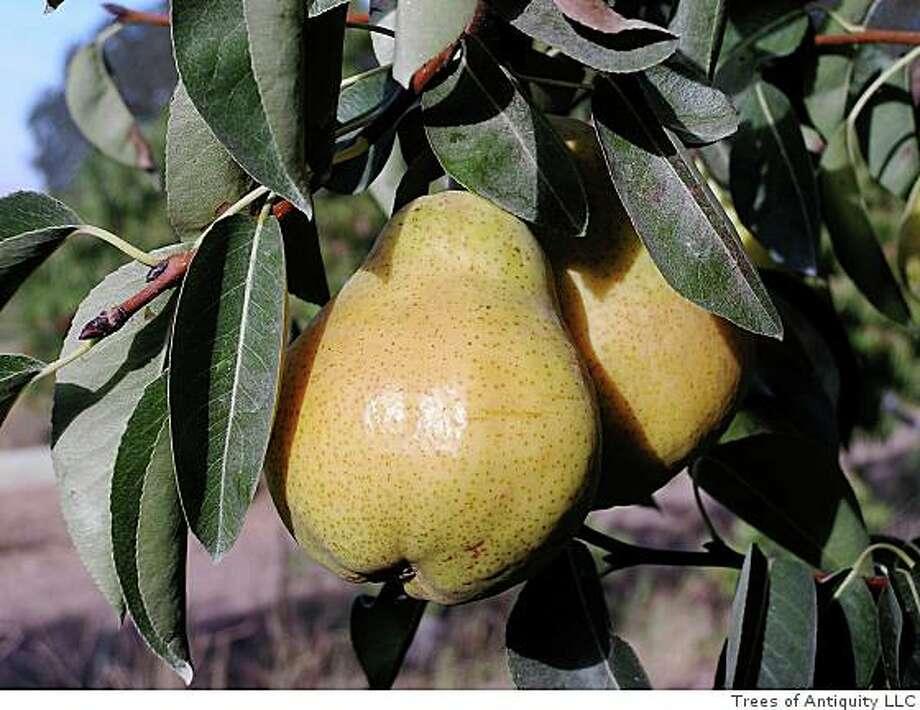 Barlett pear tree. Photo: Trees Of Antiquity LLC