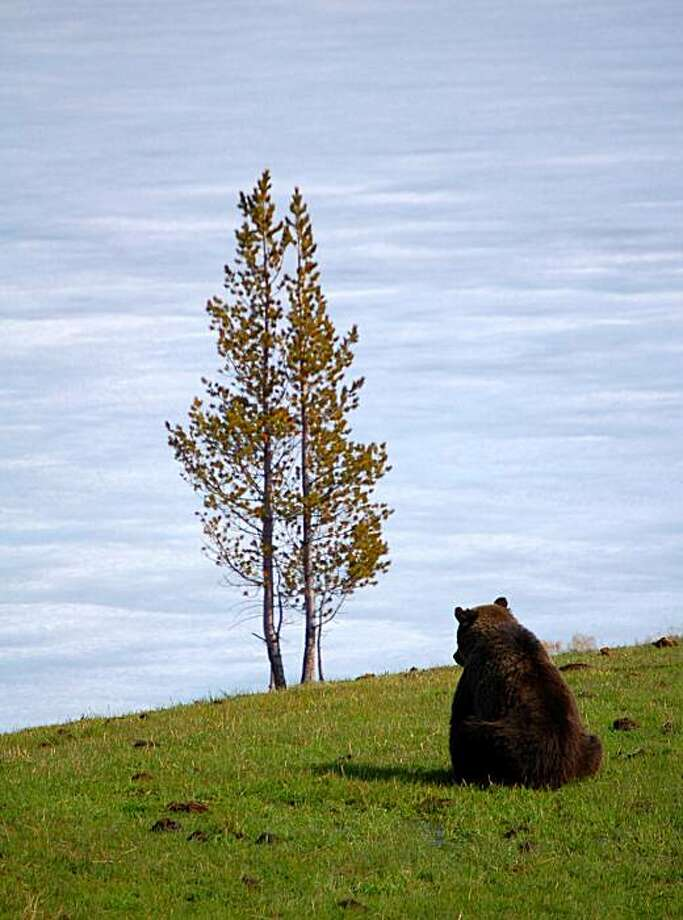 In this May 6, 2006 file photo, perched on a ridge overlooking a frozen Sedge Bay on the eastern edge of Yellowstone National Park, Wyo., a lone grizzly bear surveys the area. Photo: Justin Lessman, AP