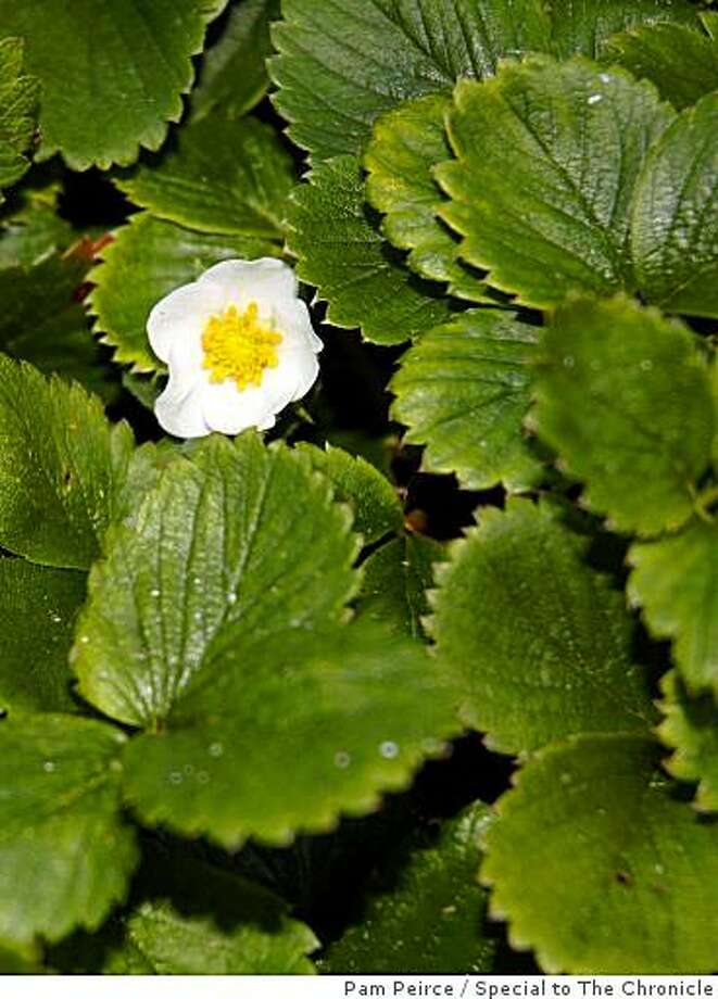 All of the many pistils of a strawberry flower must be fertilized to produce good fruit. Bees make sure this happens. Photo: Pam Peirce, Special To The Chronicle