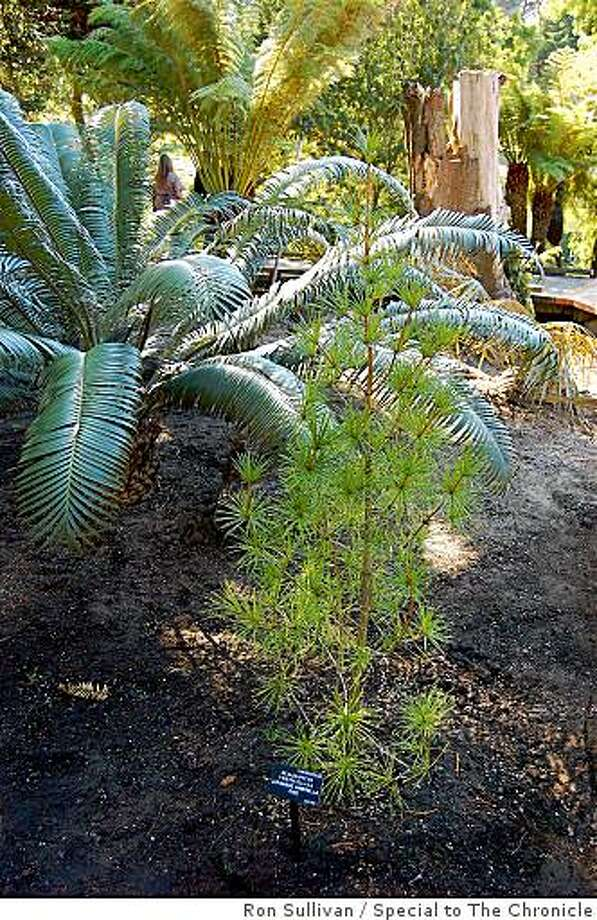 Young representative of Sciadopitys verticillata, an ancient conifer species, with cycad and tree fern at Ancient Plants Garden. Photo: Ron Sullivan, Special To The Chronicle