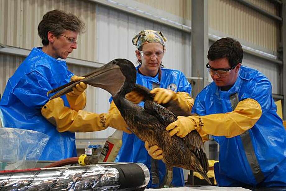 Heather Neville of Tristate Bird Rescue and Research rinses off an oiled brown pelican which was captured on a barrier island off the fragile Louisiana coast on Tuesday, May 4, 2010 at a triage center in Fort Jackson, Louisiana. It is just the second oiled bird to be brought to the center, which could fill beyond capacity if a massive oil slick reaches shore. An estimated 2.5 million gallons of crude have streamed into the sea since a BP-leased platform spectacularly sank in the Gulf of Mexico on April 22and tens of thousands of birds are at risk. Photo: Mira Oberman, AFP/Getty Images