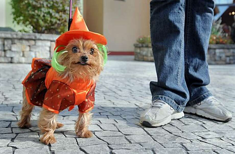Haddie, a four-year-old Yorkshire Terrier, goes trick-or-treating with her owner Kami Flathau, right, of Saginaw Township during the third annual Howl-O-Ween pet parade at Frankenmuth's River Place, Saturday, Oct. 18, 2008 in Frankenmuth, Mich. Pet owners dressed their dogs and cats in costume and brought them to shop owners around River Place who handed out dog and cat treats. (AP Photo/The Saginaw News, Jeff Schrier) Photo: Jeff Schrier, AP / ONLINE_CHECK