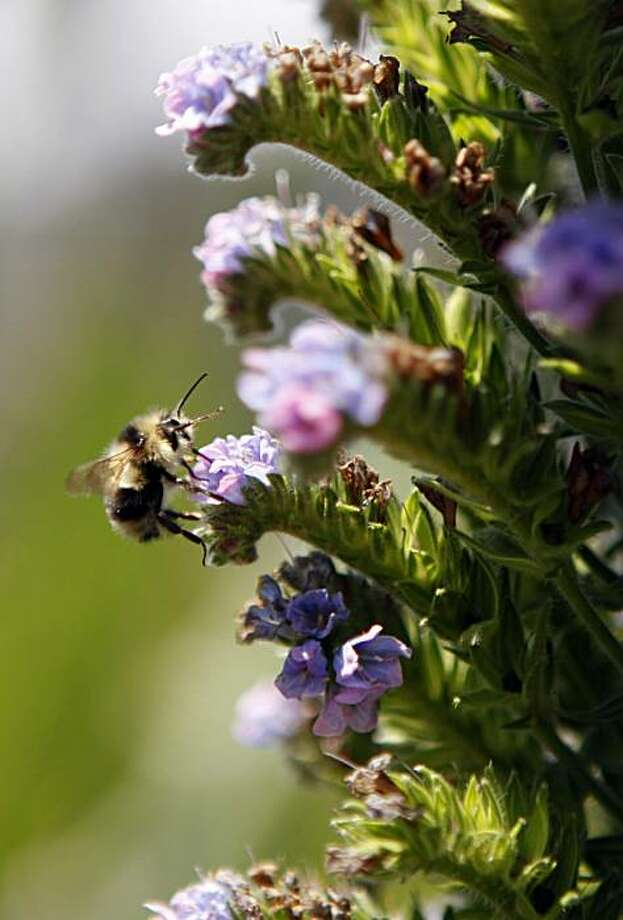 A bee harvests pollen from a flower at the entrance to Alice Eastwood Campground at Mount Tamalpais State Park Wednesday, May 12, 2010. The campground remains closed to the public due to the states fiscal problems. Photo: Lance Iversen, The Chronicle