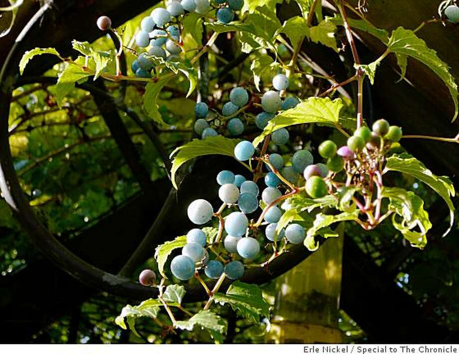 Ampelopsis brevipedunculata, commonly called porcelain berry. Photo: Erle Nickel, Special To The Chronicle