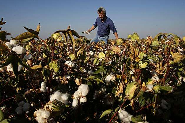 farmbill_141_mac.jpg  Bowles in one of his fields full of cotton plants that are near ready for harvest. The company has 6,000 acres of cotton.  Philip Bowles is President of Bowles Farming Company in Los Banos.  Congress is working on a farm bill that will have a dramatic impact on the way farming is conducted in California. One of the issues at hand is subsidies for California farmers.  Photographed in, Los Banos, Ca, on 9/11/07.   Photo by: Michael Macor/ The Chronicle Photo: Michael Macor, The Chronicle