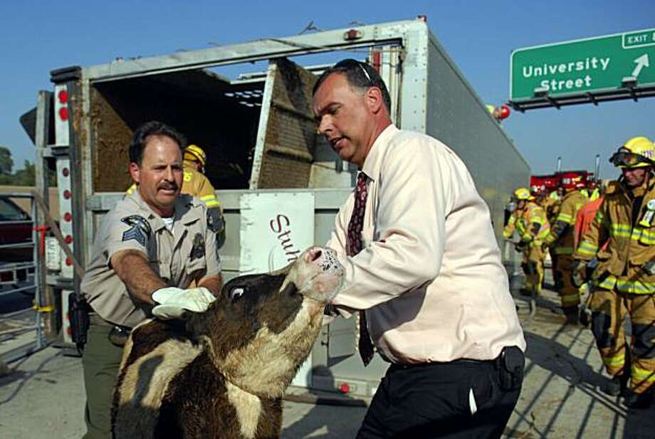 Redlands Animal Control Officer Bill Miller and San Bernardino County Animal Care and Control supervisor Doug Smith get control of a calf before loading it into a trailer on the eastbound side of Interstate 10 in Redlands, Calif., Thursday, May 6, 2010. Approximately 160 cattle were in the trailer when the driver attempted to avoid hitting a pickup truck causing him to overturn, said California Highway Patrol Officer Hope Maxson. Both drivers were not injured in the accident. Photo: Eric Tom, AP