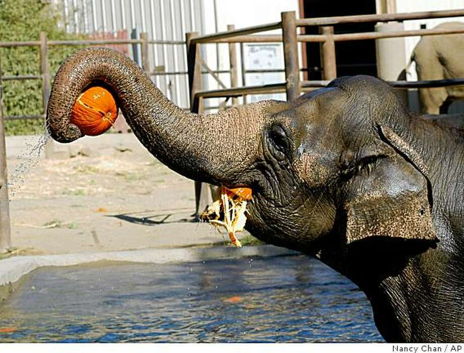 In this photo provided by Six Flags Discovery Kingdom, Bertie Mae, a 27-year-old female Asian elephant, balances a pumpkin in her truck while chomping on another at Six Flags Discovery Kingdom in Vallejo, Calif. on Wednesday, Oct. 15, 2008.  (AP Photo/Six Flags Discovery Kingdom, Nancy Chan) ** NO SALES ** Photo: Nancy Chan, AP