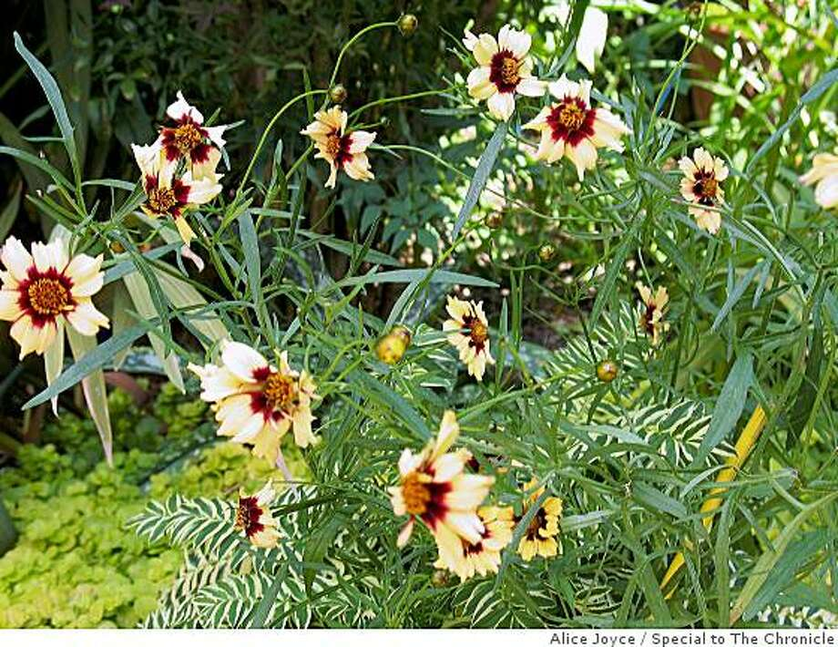 Coreopsis 'Autumn Blush' Photo: Alice Joyce, Special To The Chronicle