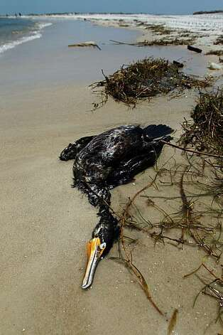 SHIP ISLAND, MS - MAY 04: A dead bird is seen on the beach as concern continues that the massive oil spill in the Gulf of Mexico may harm animals in its path on May 4, 2010 in Ship Island, Mississippi. It is unknown if the bird died due to the oil spill.Oil is still leaking out of the Deepwater Horizon wellhead at a estimated rate of 1,000-5,000 barrels a day. Photo: Joe Raedle, Getty Images