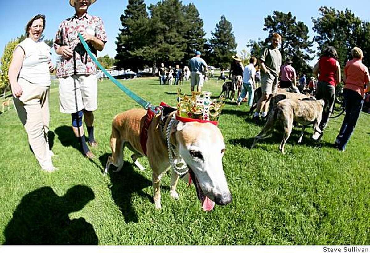14 and a half-year old brood, Amy, was crowned Queen of the Picnic at Golden State Greyhound Adoption's annual reunion picnic. Amy was adopted at age 10 by Ann and Raymond Graf of Walnut Creek