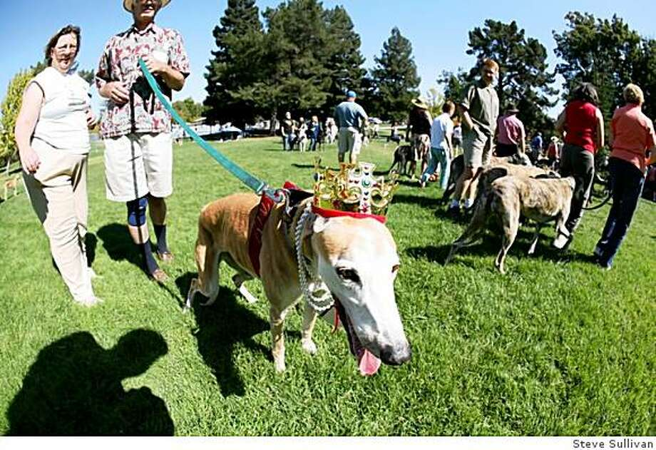 14 and a half-year old brood, Amy, was crowned Queen of the Picnic at Golden State Greyhound Adoption's annual reunion picnic. Amy was adopted at age 10 by Ann and Raymond Graf of Walnut Creek Photo: Steve Sullivan