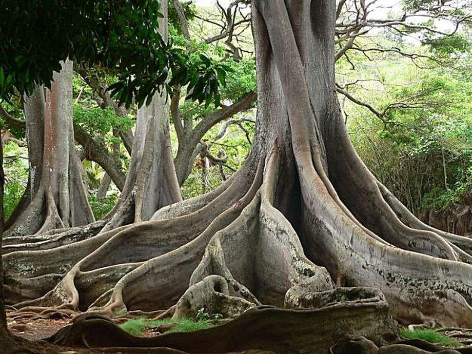 Moreton Bay figs at the Allerton Garden. Photo: Nat. Tropical Botanical Garden