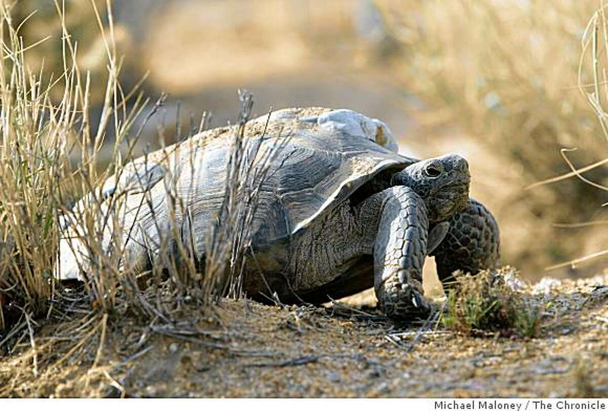 Desert tortoises like this one have been relocated by the Army to another part of the Mojave Desert to make room for training grounds.