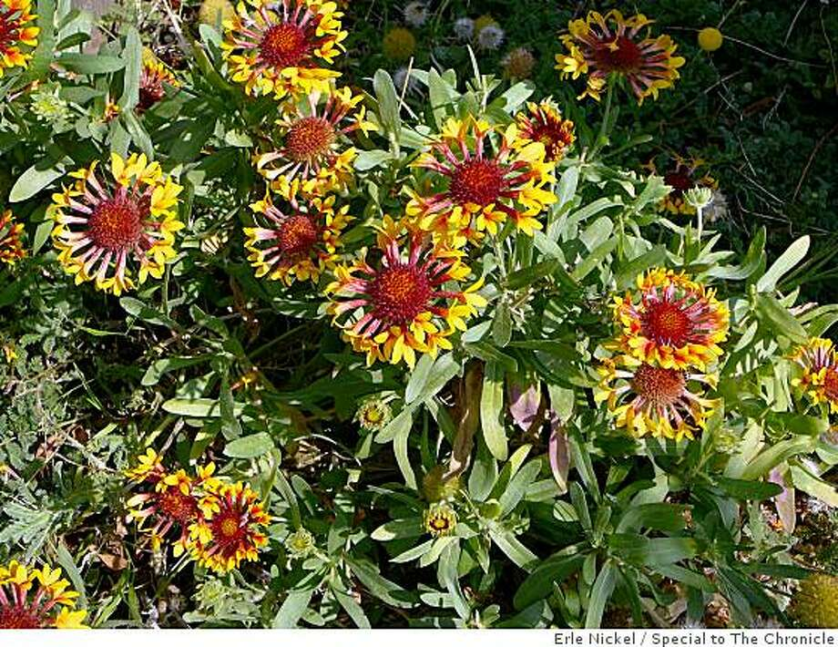 gaillardia 'Fanfare.' Photo: Erle Nickel, Special To The Chronicle