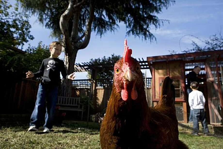 Henrietta, a Sussex Hen, struts around the pen while her owner, Anders Rohrer, his brother, Auggie Rohrer, 5, and dad, Gunther Rohrer tend to the chicken coop and flock of five hens the family keep in the backyard of their El Cerrito home on Sunday, March 14, 2010.    Kat Wade / Special to the Chronicle Photo: Kat Wade, Special To The Chronicle