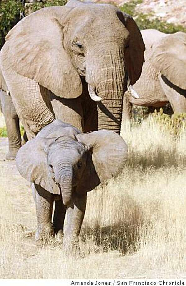 A baby male desert elephant in Damaraland charges the vehicle ahead of his mother. Male babies will often show signs of aggression. As teenagers, they are expelled from the herd. Photo: Amanda Jones, San Francisco Chronicle