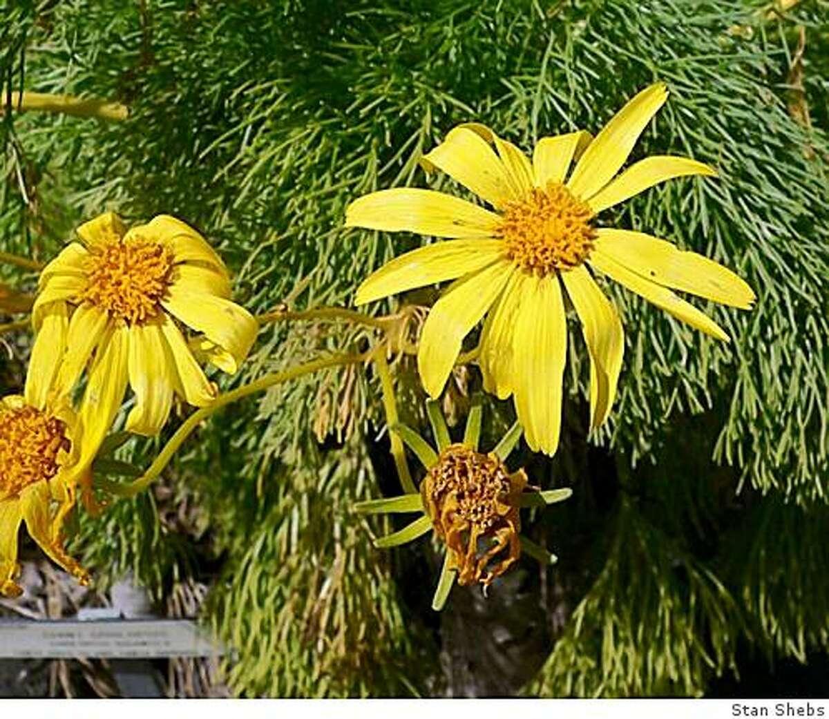 Coreopsis gigantea, UC Botanical Garden, Berkeley, April 2007