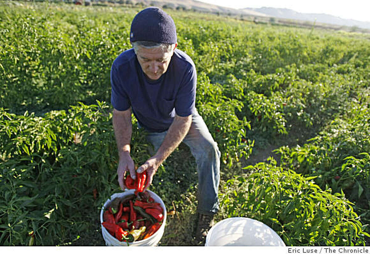 Farm Manager Peter Rudnick picking his prized Georgia Flames peppers at the Sunol Water Temple Agricultural Park, which is a 18 acre organically farmed site by a variety of small farming operations.