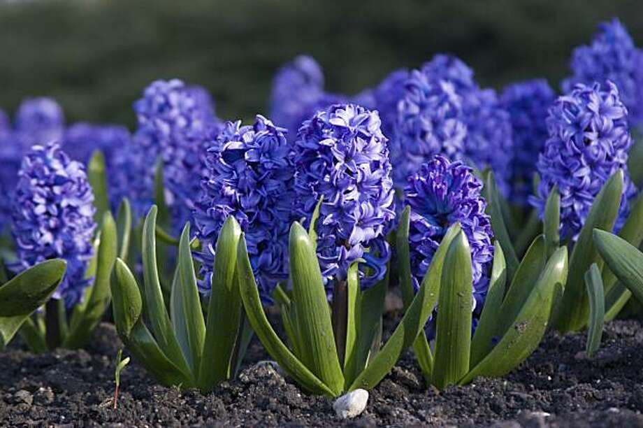 Blue hyacinth Photo: Alex Potemkin, Istock.com