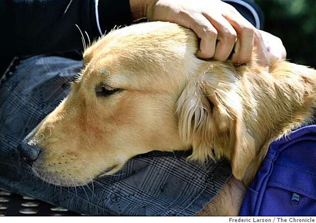 Vegas a 10-month-year-old Golden Retreiver is trained to help care for veterans, those who have been severly injured in combat. Photo: Frederic Larson, The Chronicle