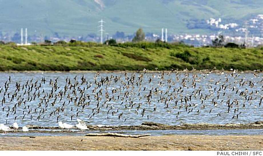 A flock of western sandpipers fly in unison over the Cargill salt ponds. Photo: PAUL CHINN, SFC