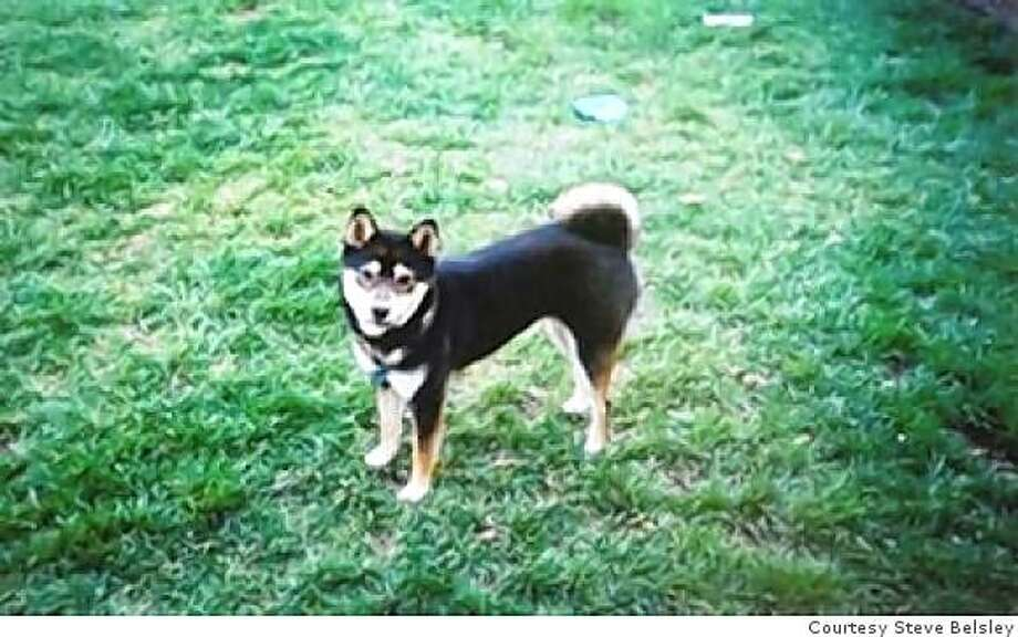 Steve Belsley's Shiba Inu dog, Bella, has been missing in San Jose since both dog and Belsley were attacked by a pit bull while on a walk. The pit bull'on s owner, Ivan Batinich, has been charged with allowing a vicious animal to be at large Photo: Courtesy Steve Belsley