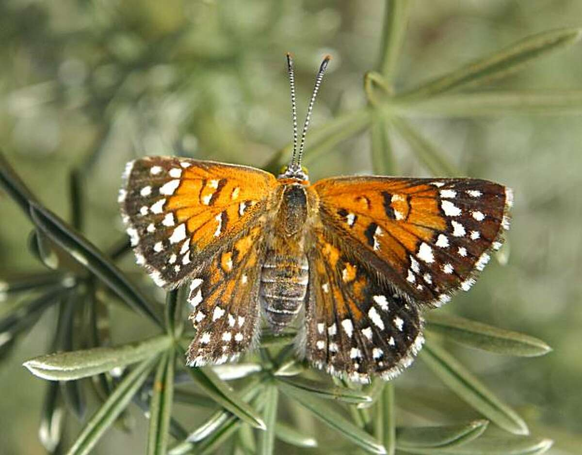 The Lange's Metalmark butterfly, an endangered species, can be found only at the Antioch Dunes Wildlife Refuge.