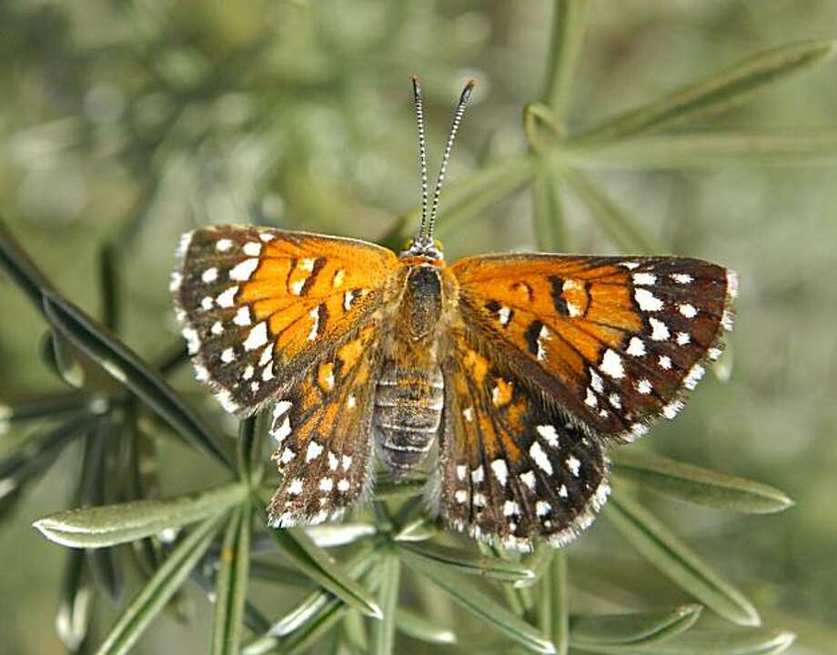 The Lange's Metalmark butterfly, an endangered species, can be found only at the Antioch Dunes Wildlife Refuge. Photo: U.S. Fish And Wildlife Service