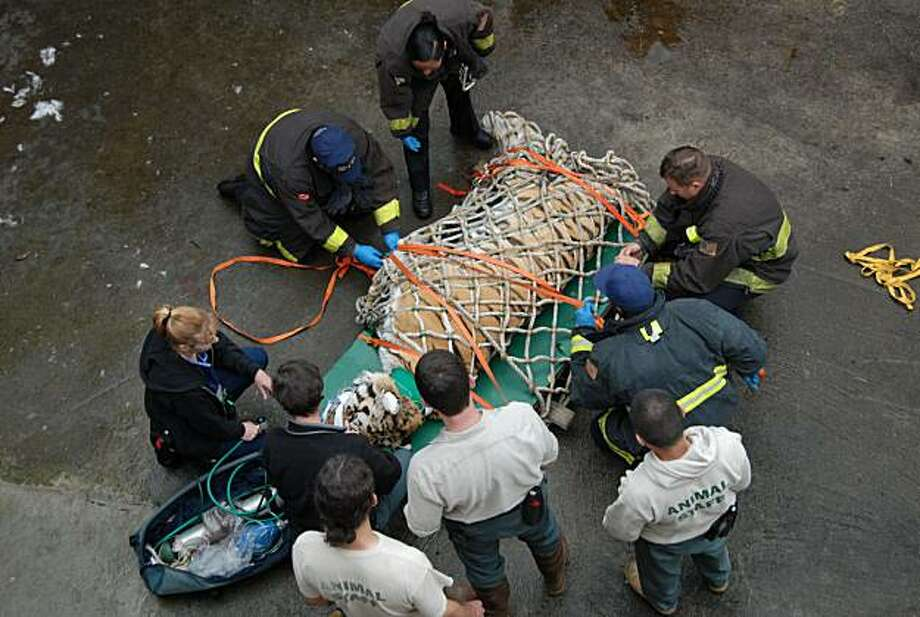 In this photo taken Tuesday, March 30, 2010,  San Francisco Fire Department personnel and San Francisco Zoo staff members prepare to lift Tony, an 18-year-old Siberian tiger, from a moat after being shot with tranquilizers at the San Francisco Zoo. Zoo officials decided on Monday, March 29, 2010, that Tony could no longer stay in the dry moat he climbed into last week, since excrement was piling up and officials worried about a potential health hazard. With the help of firefighters, they used tranquilizerdarts on the 360-pound tiger, strapped him to a board and hauled him out with a pulley. Siberian tigers have a life expectancy of 10 to 15 years in the wild and 14 to 20 years in captivity. Photo: San Francisco Zoo, AP