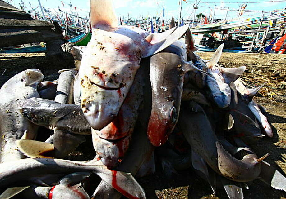 Dead sharks caught by fishermen, are seen at the port of Banyuwangi, East Java on March 24, 2010.  Many local fishermen hunt for sharks for local consumtion and sell the fins for regional market, mostly to Singapore and China for the famous Chinese fin soups. This large scale commercial exploitation of sharks recently led to drastic decline in shark populations globally. Photo: Aman Rahman, AFP/Getty Images