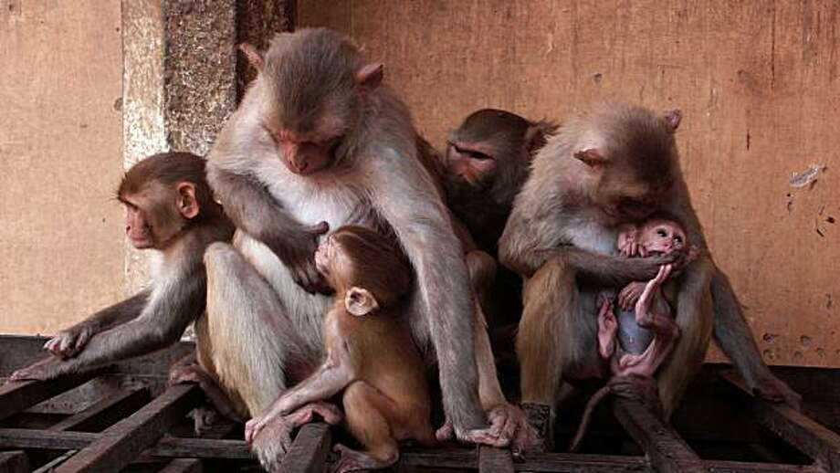 This publicity photo released by the National Geographic, shows two baby macaques with mothers and other group members  in Jaipur, India, during a filming for National Geographic's Nat Geo Wid series. (AP Photo/ National Geographic, Richard Kirby) NO SALES Photo: Richard Kirby, AP