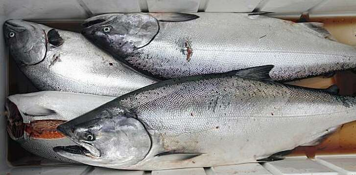 Salmon caught on the first day of recreational salmon fishing Saturday in Moss Landing.