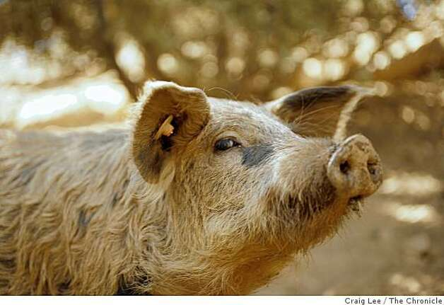 "A Mangalitsa pig  at the Red Mountain Farm in Livermore, Calif. The pigs are owned by the co-founders of the farm, Kylan Hoover and David ""Bumper"" Smith. Photo: Craig Lee, The Chronicle"