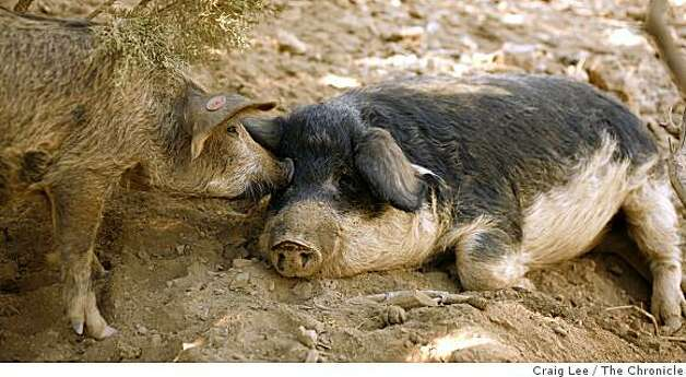 "Mangalitsa pigs at the Red Mountain Farm in Livermore, Calif., on August 23, 2008. The Magalitsa pig are owned by the co-founders of the farm, Kylan Hoover and David ""Bumper"" Smith. Photo: Craig Lee, The Chronicle"