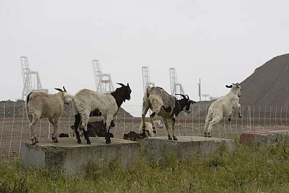 "A little rain and a steady mist couldn't dampen the appetites of a group of hungry goats from ""city grazing"" as they performed their magic on weeds at the San Francisco Bay Railroad railyard Monday, March 29, 2010, at at the Port of San Francisco. Photo: Liz Hafalia, The Chronicle"