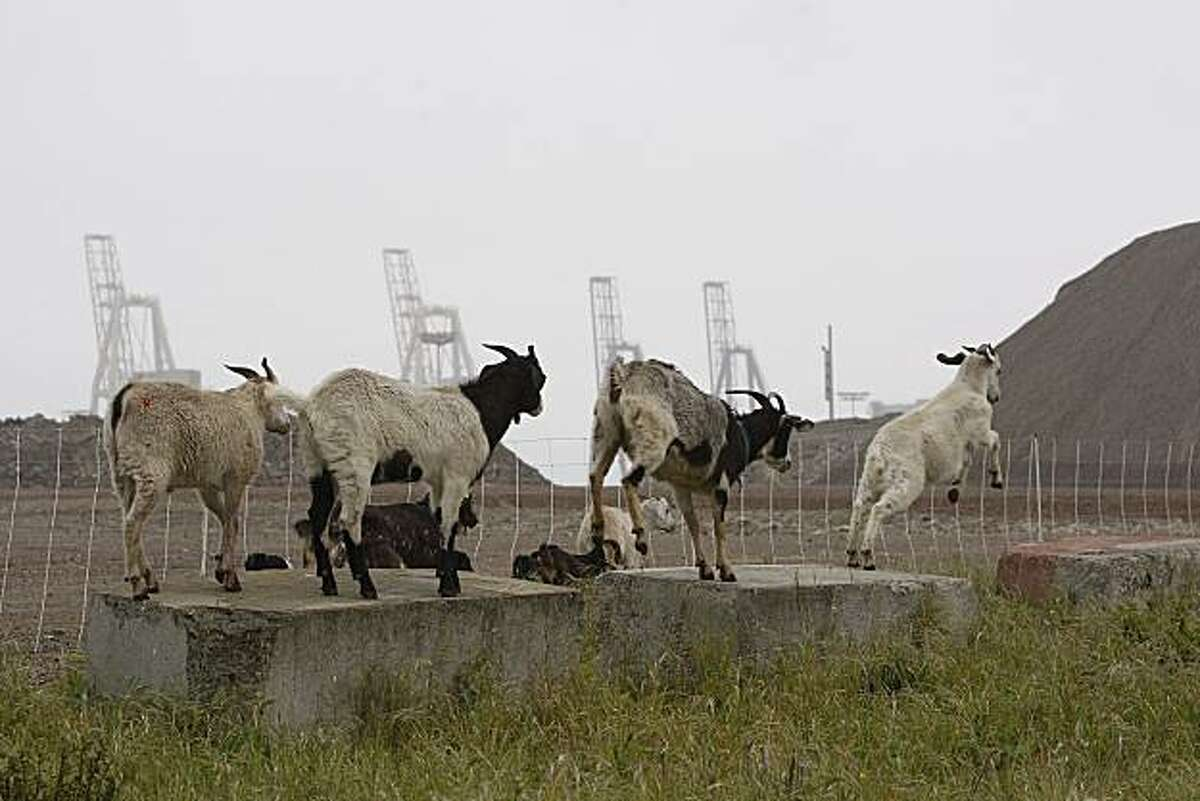 """A little rain and a steady mist couldn't dampen the appetites of a group of hungry goats from """"city grazing"""" as they performed their magic on weeds at the San Francisco Bay Railroad railyard Monday, March 29, 2010, at at the Port of San Francisco."""