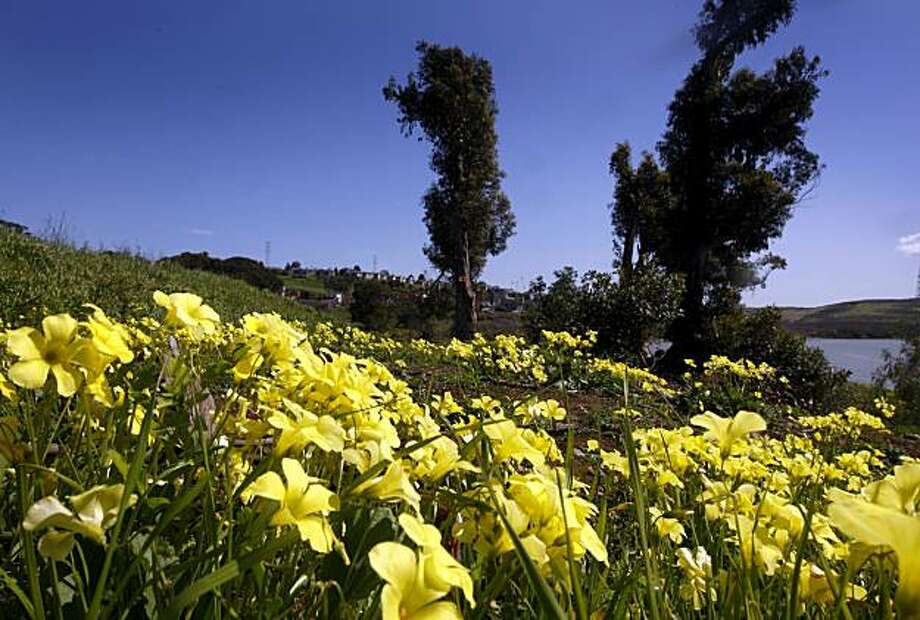 Wildflowers are in full bloom on the site of the proposed waterfront Glen Cove Park in Vallejo, Calif., on Thursday, March 11, 2010. Native Americans are fighting the proposed development which they say is sacred Ohlone burial ground. Photo: Paul Chinn, The Chronicle
