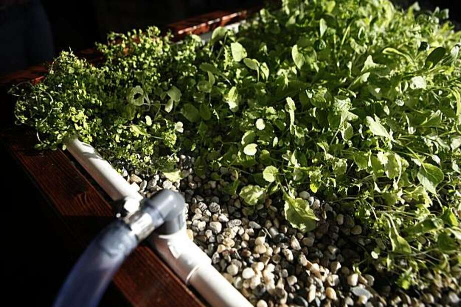 Gardeners grow dinner with aquaponics - SFGate