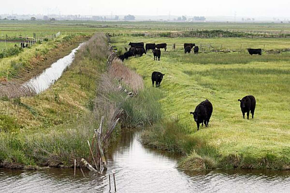 Cattle graze outside Dozier California and next to Baker Slough and one of the Delta pumping stations. Thursday April 10, 2009