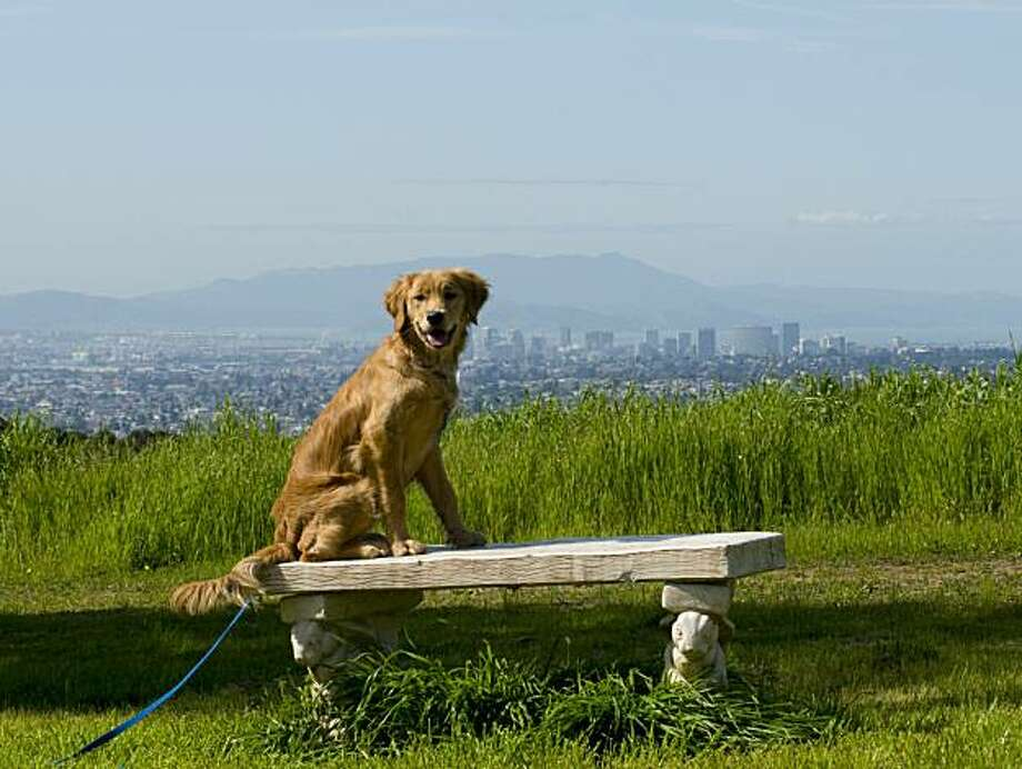 Pixie a 6 month old Golden Retriever sits on a stone bench over looking much of the Bay Area in Knowland Park, Oakland California, March 11th, 2010. Photo: Karl Nielsen, Special To The Chronicle