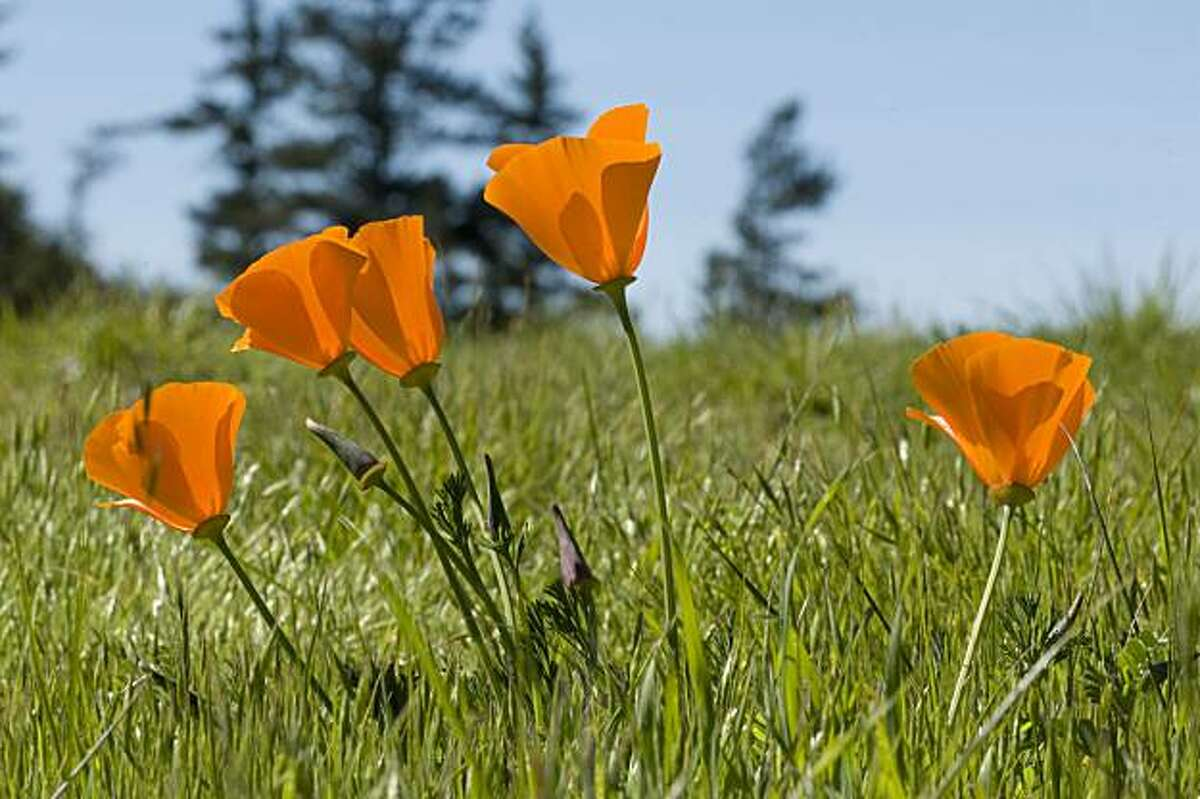 California Poppies bloom in the grassy hills of Knowland park, Sunday March 14, 2010.