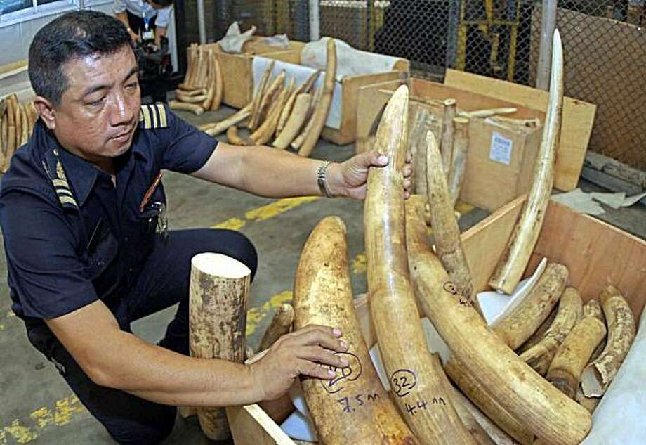 (FILES) -- An undated file photo shows a Thai custom officer inspecting illegal ivory at the airport in Bangkok. A bid by Zambia and Tanzania to sell stockpiled ivory to Japan and China comes before the UN wildlife body, The Conference on International Trade in Endangered Species (CITES) meeting in the Qatari capital Doha, along with a competing proposal to extend a moritorium on ivory trade already in place. Photo: -, AFP/Getty Images