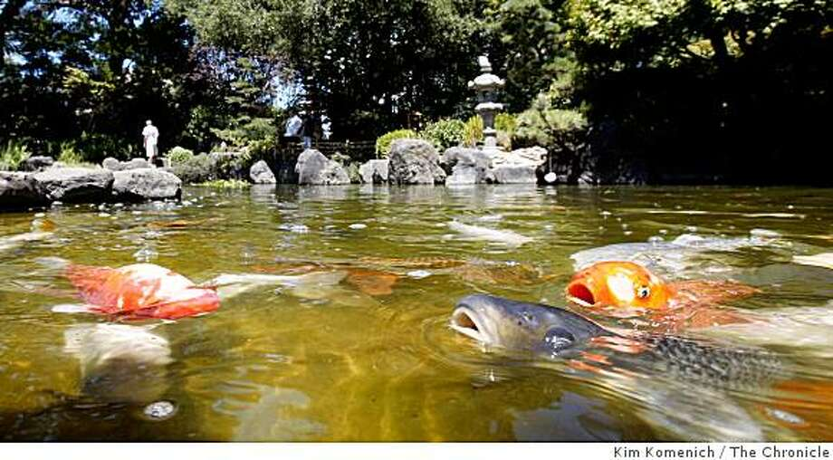 Koi swim at Central Park in San Mateo, Calif., on Tuesday, July 29, 2008.Photo by Kim Komenich / The Chronicle Photo: Kim Komenich, The Chronicle