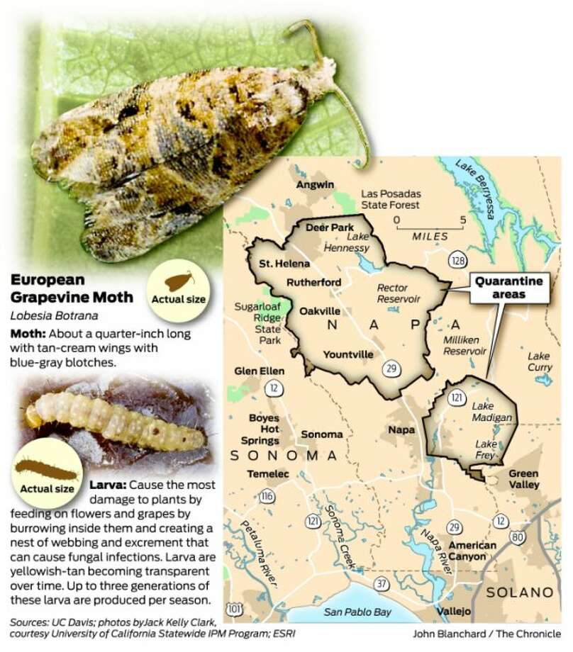 Invasive Moth Threatens Wine Grape Crop