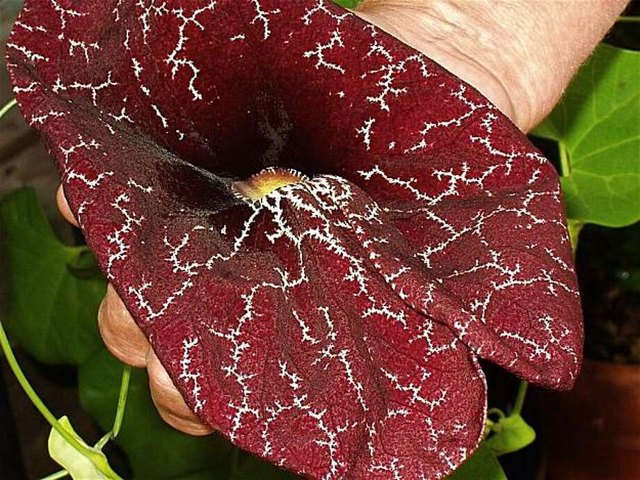 Aristolochia elegans blossom in (normal-size human)  hand at Thomsen's Nursery in Alameda. Photo: Ron Sullivan